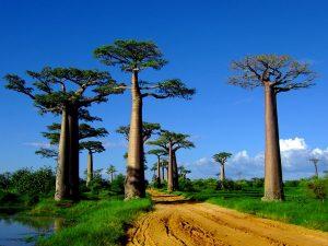 Arboleda y camino en Madagascar