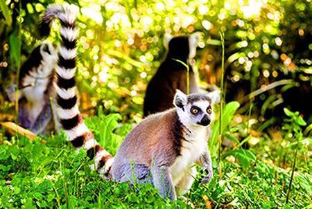 Lemur de Madascar