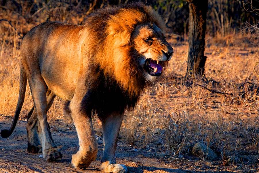 león durante un safari en África