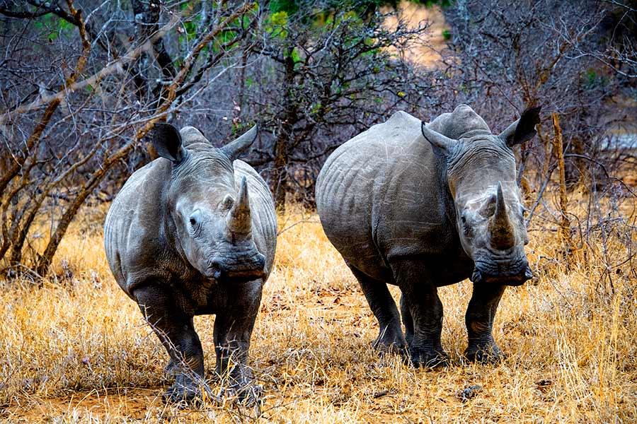 rinocerontes durante una safari en África